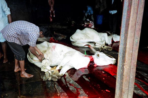 Cow Killing