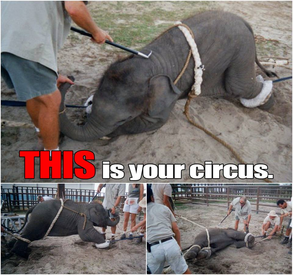 cruelty to animals in circuses essay Animal cruelty in circuses essayshow many times have people witnessed or heard about animal cruelty circuses are one of the many places where the modern circus actually began in the late eighteenth century by 1830, travelling circuses with clowns, acrobats and animals were touring.