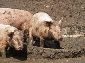 Pigs Animals
