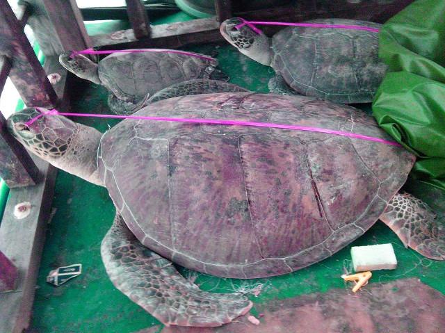 Rappler Turtle