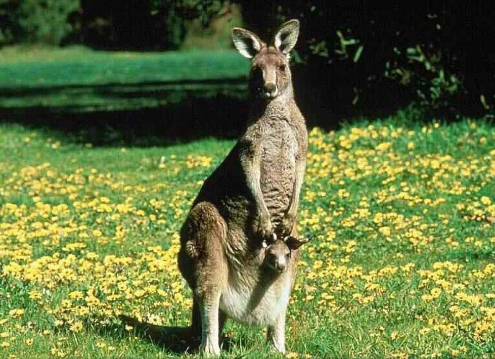 Scare Kangaroo