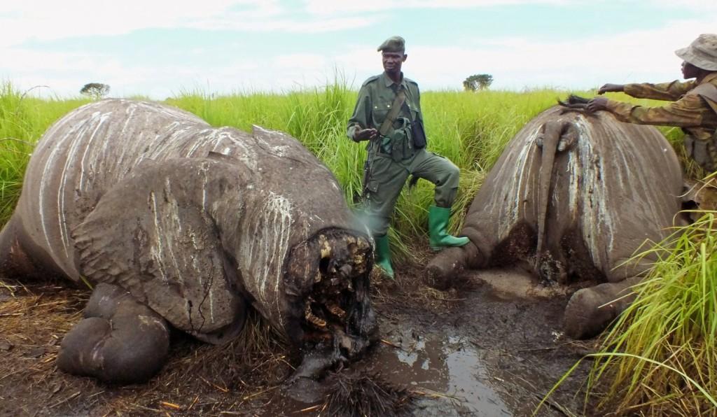 Congo Poaching