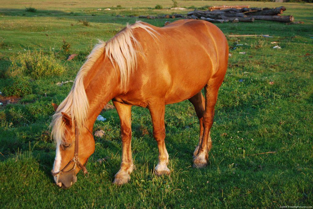 Pony Animal