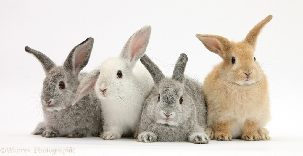 Four baby rabbits