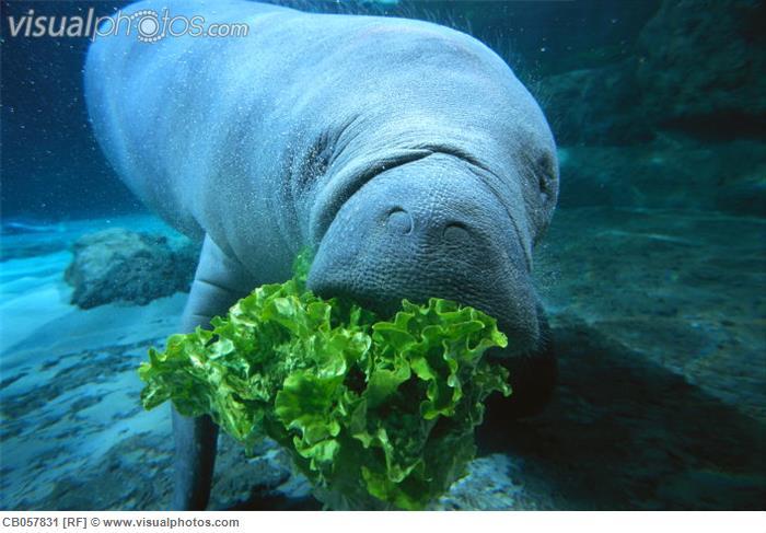 Y Wont My Turtle Eat Manatees Eating Lettuc...