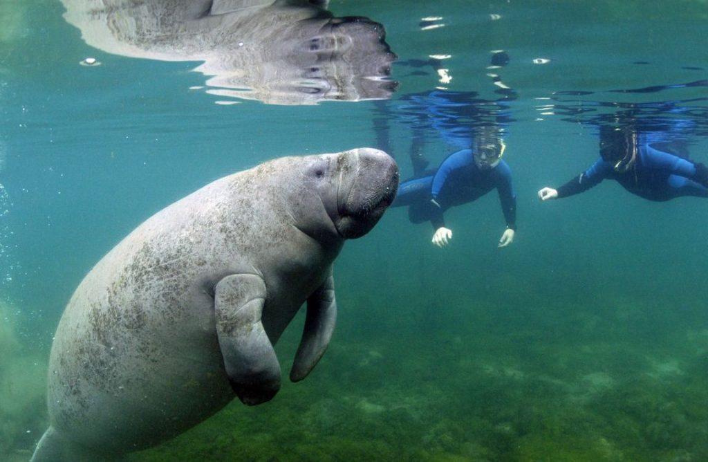 Swimming-Manatees