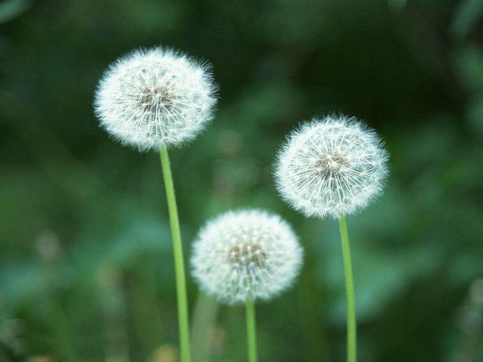 Dandelion Stem